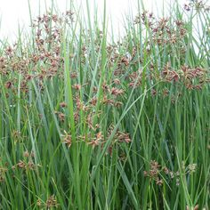 Lang cypergras Brown Flowers, Fall Flowers, Colorful Flowers, Summer Brown, Decking Area, Pond Plants, Plant Basket, Green Colors, Herbs