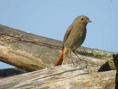 Gekraagde roodstaart, Common Redstart, Phoenicurus phoenicurus ( Female )