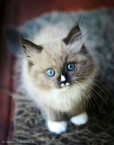 Caring for a Ragdoll Cat - Cat's Nine Lives Kittens And Puppies, Cute Kittens, Cats And Kittens, Pretty Cats, Beautiful Cats, Animals Beautiful, Animals And Pets, Baby Animals, Cute Animals