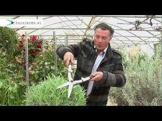 Lavendel snoeien - Tuinieren.nl - YouTube
