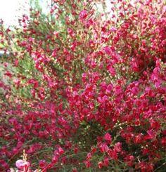 Cytisus 'Boskoop Ruby' - Zanót Clematis, Shrubs, Bing Images, Flowers, Plants, Pink, Bremen, Lawn And Garden, Shrub