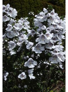 Prostanthera cuneata - The Beth Chatto Gardens