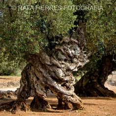 Millenarian olive tree. Castellon, Spain