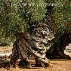 Olivo milenario Castellon. Millenarian olive tree