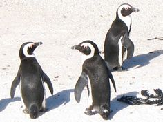 African penguins have colonised Boulders Beach near Simon's Town in South Africa.