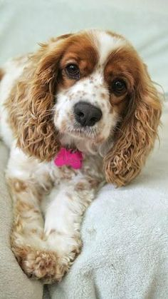 "Cocker spaniel. What breed of dog originated in Spain in the 14th century? It's Cocker Spaniel. The word Spaniel means ""Dog of Spain"". #DogBreeds"
