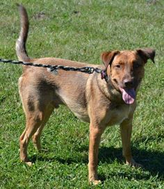A veteran in the later stages of MS is seeking to place her dog because she can no longer care for him. This is a time sensitive,very urgent placement in Knob Noster, Missouri.   Dedy is a 3 year old neutered and vaccinated 65 pound shepherd mix and was rescued from a junkyard when Dedy was 7 to 8 months old. He was petrified there being alone.Due to the MS affecting Lore's speech, a friend will be handling the inquiries for her.  Please contact: Wanda Hayes 865-257-4954