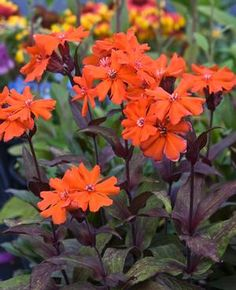Lychnis (Lychnis Arkwrightii Vesuvius) - Grow this attractive plant from Lychnis seeds and have both gorgeous orange-red blooms and purple colored foliage.
