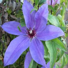 Blue Ravine Clematis 20 seeds by Tropical Oasis. $2.00. flowers in all summer long. hardy zone 4-9. huge deep blue blooms. Clematis Blue Ravine has quite large, up to 8 inch, flowers in late spring and again in late summer. The dark, purple-red stamens show nicely against the 6 to 8 petals of each flower.  Hardy zone 4-9