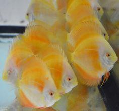 Big Aquarium, Glass Aquarium, Amazing Aquariums, Discus Fish, Fish Tales, Freshwater Aquarium Fish, Water Life, Angel Fish, Beautiful Fish