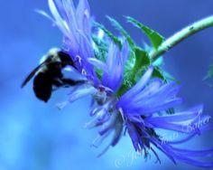 Bumble Bee 2  2014 Nikon D60 with saturation adjustment