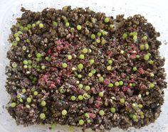 Germinating cactus seeds