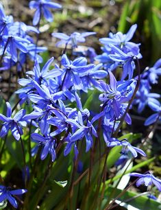 Blaustern, Scilla siberica zum Verwildern Special Flowers, Larp, Planting Flowers, Blue Bells, Bulbs, Plants, Beautiful, Rose, Design