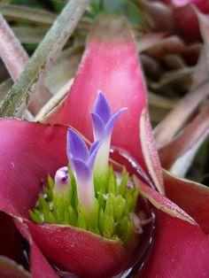 Unusual Plants, Exotic Plants, Exotic Flowers, Amazing Flowers, Bog Plants, House Plants, Easy To Grow Houseplants, Florida Plants, Garden Site