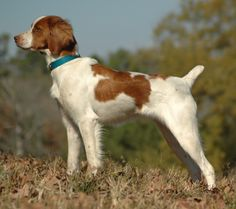better share my love for Brittany Spaniels