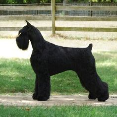 Giant Schnauzer   HiStyle's Candy Land. This is beautiful!