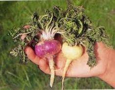 A maca (Lepidium peruvianum – Lepidium meyenii), também conhecida como maca-peruana, é uma planta que se assemelha a um nabo e cresce nas montanhas andinas do Peru.