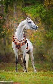 Image result for arabian horse dressed up