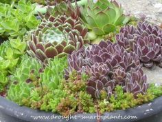 Hardy Succulents info - Hardy succulents are those which originate in northern climates and do best with some cold winter weather for a dormant period.