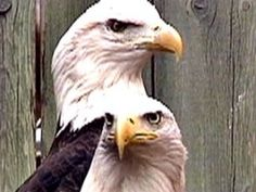 While the bald eagle is still protected by federal law, countless raptors are injured or shot each year. Those that survive are sent to a rehabilitation program at the Great Plains Zoo in conjunction with the Game, Fish and Parks Department.