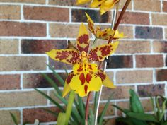 "Wilsonara Eye Candy | Wilsonara (Wils) ""Larry McLaughlin"" | Orchids | Pinterest"