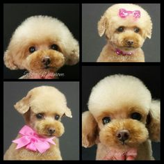 Asian style Poodle groom