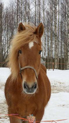 Suomenhevonen Tytön Lento - Finnhorse mare Tytön Lento Horse Photography, Beautiful Horses, Nature, Photos, Animals, Horses, Historia, Paintings, Pretty Horses