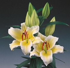 Oriental Lily Cherbourg