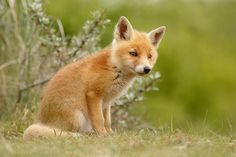 Red Fox Cub by Roeselien Raimond - thrumyeye