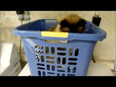 Ragdoll Cat in Laundry Basket Playing with Coupon Paper - ねこ - ラグドール - Floppycats http://youtu.be/9k847weSp8Q