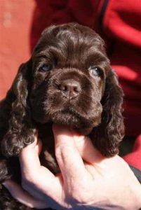 A list of the cutest brown cocker spaniel pictures. Are you in the mood to see some adorable photos of cocker spaniels? This is a list of some of the cutest brown cocker spaniel photos. Cocker Spaniel Chocolate, Black Cocker Spaniel, American Cocker Spaniel, Cocker Spaniel Puppies, Boykin Spaniel, Spaniels, Cute Puppies, Cute Dogs, Dogs And Puppies