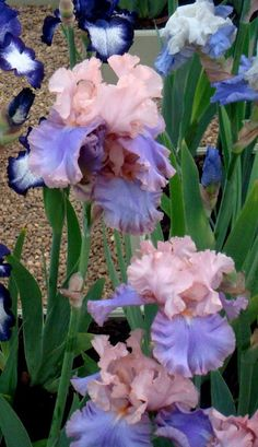 The most gorgeous Iris EVER!!! A Tale of Two Cities: More of the Chelsea Flower Show