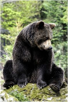 Brown bears are so powerful and beautiful.  I thought it was a black bear…