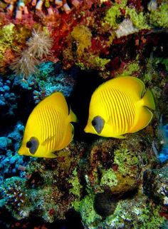 Red Sea, Egypt, colorful fish and background Underwater Creatures, Underwater Life, Ocean Creatures, Small Fish Tanks, Life Under The Sea, Beautiful Sea Creatures, Salt Water Fish, Marine Fish, Marine Aquarium