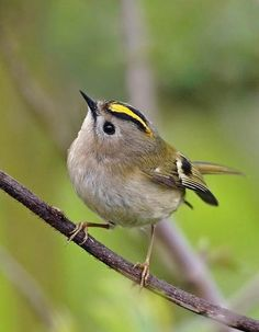 Goldcrest - mag - My gallery - The RSPB Community