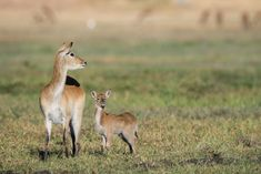Red lechwe with baby in Moremi. African Elephant, African Animals, African Safari, Dik Dik, African Antelope, Baboon, Chimpanzee, Wild Dogs, Hyena