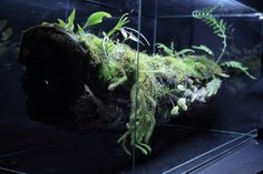 Branch vivarium - Update | gnat repellent: nematodes?