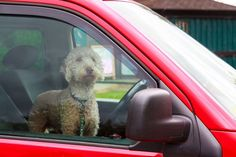 Dogs left in cars can quickly overheat. Running errands while leaving your dog in the car can have fatal consequences.