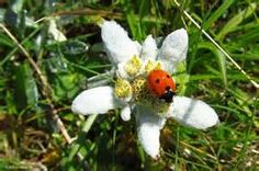 edelweiss - Bing Images