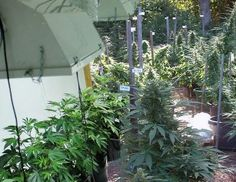 Indoor or Outside: What's the Best Way to Grow Weed? | Alternet