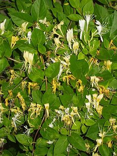 Japanese Honeysuckles (lonicera japonica): Lonicera japonica, the Japanese honeysuckle or suikazura (スイカズラ/吸い葛 in Japanese; jinyinhua in Chinese; 忍冬 in Chinese and Japanese, 인동 or 겨우살이덩굴 in Korean) is a species of honeysuckle native to eastern Asia including China, Japan and Korea. It is a twining vine able to climb up to 10 metres (33 ft) high or more in trees, with opposite, simple oval leaves 3–8 centimetres (1.2–3.1 in) long and 2–3 centimetres (0.79–1.18 in) broad. The flowers are…