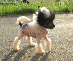Chinese Crested Pictures (165cimb7d50)