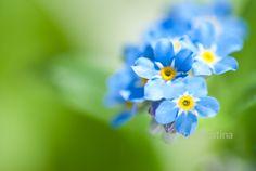 Ann-Kristina Al-Zalimi, Myosotis, lemmikki, förgätmigej, forget-me-not, garden, flower, flora, puutarha, kukka, blue flower
