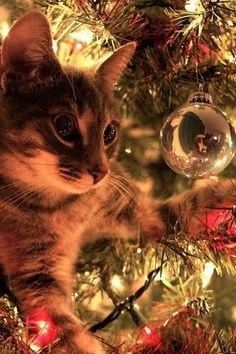 Christmas cat reflections.  funholidaycats.com