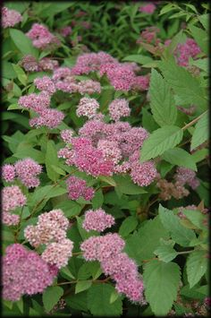 Froebel Spirea (Spiraea) - have two of these bushes