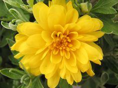 yellow cushion mums - filler flowers