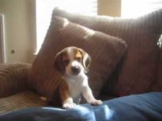 I. Have. No. Words. This Beagle Puppy Howling Has Me Speechless!   FamilyPet