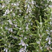 Rosemary Plant Care Guide Botanical name: Rosmarinus officinalis Plant type: Herb USDA Hardiness Zones: 9 Sun exposure: Full Sun Soil type: Sandy, Loamy Rosemary is a perennial evergreen s. Rosemary Plant, Grow Rosemary, Rosemary Flower, Growing Raspberries, Mosquito Repelling Plants, Edible Plants, Medicinal Herbs, Plant Care, Gardening