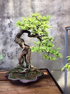 Exposed root Tamarind bonsai moved to a slab