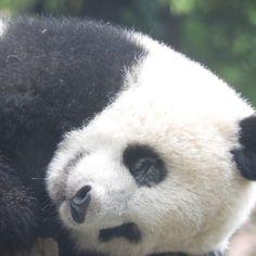 パンダの皆さーん、上野のシャンたんは気持ち良く眠ってまーす